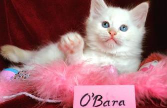 O'Bara of White Miracle, CZ