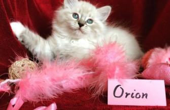 Orion of White Miracle, CZ