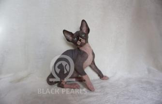 Black Pearls Oracle