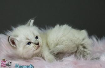 Fernando Royal Pink Paws