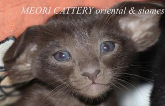 Meori cattery