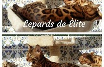 LEPARDS DE ÉLITE