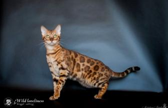 Bengal cat breeders ~ WorldKittens
